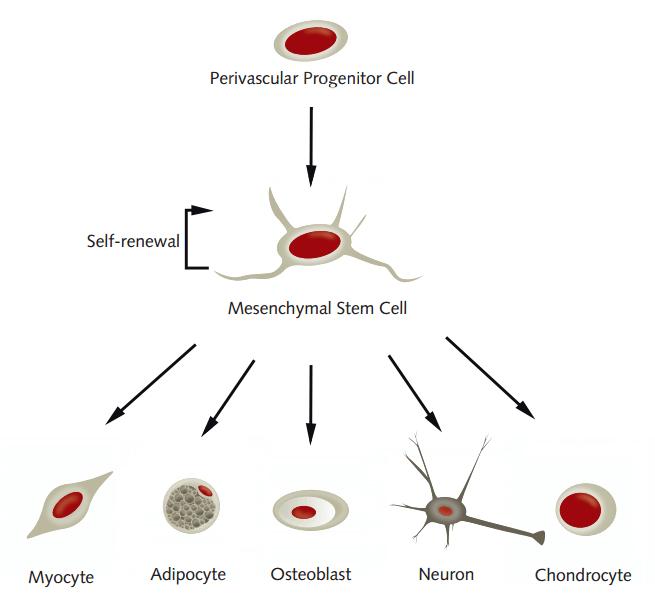 mesenchymal stem cell promocell