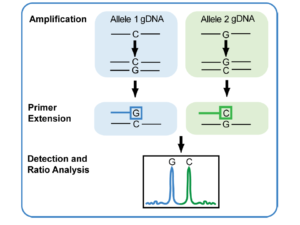 SNP, iPLEX, genotipado, química, extensión, primers, Agena. MassArray