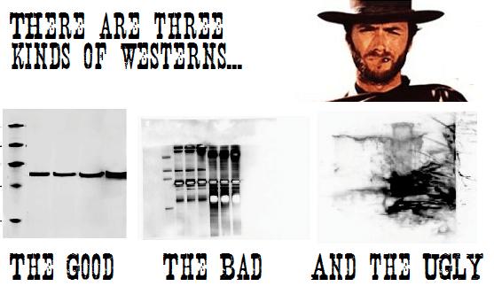 western blot, guía práctica, proteína, electroforesis, membrana, poliacrilamida, BSA, anticuerpo