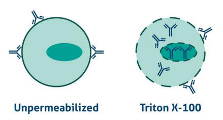 permeabilization, IHC, immunohistochemistry, inmunohistoquímica, permabilización, epitopo, anticuerpos, IHC, trucos, tips