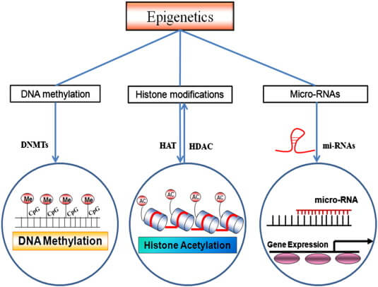 epigenética, mecanismos, metilación, ADN, DNA, mechanisms, epigenetics, DNMT, disease, cancer, enfermedad, CpG, hypermethylation, 5-mC,